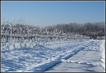 Sandy_Branch_Vineyards_Snow