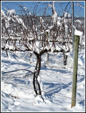 Virginia_Snow_Grapevines