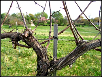Virginia_Cabernet_Sauvignon_Vines