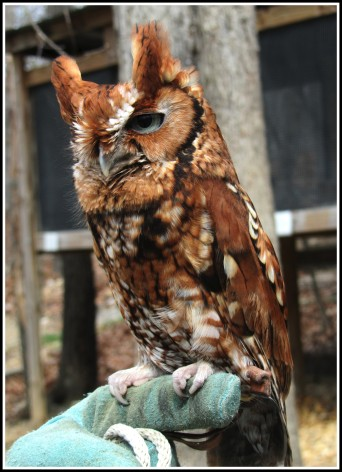Screech_Owl_Pignoli_Wildlife_Center_Virginia