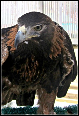 Junior Golden Eagle
