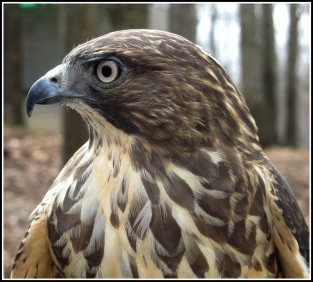 Grayson Broad Winged Hawk