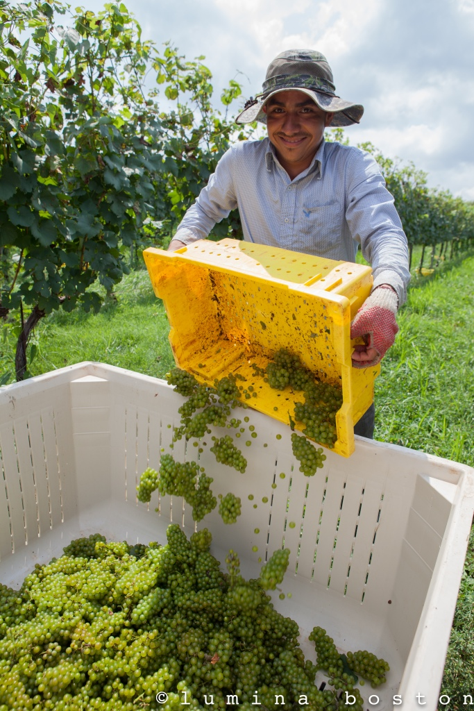 Chardonnay_Grapes_Trump_2014